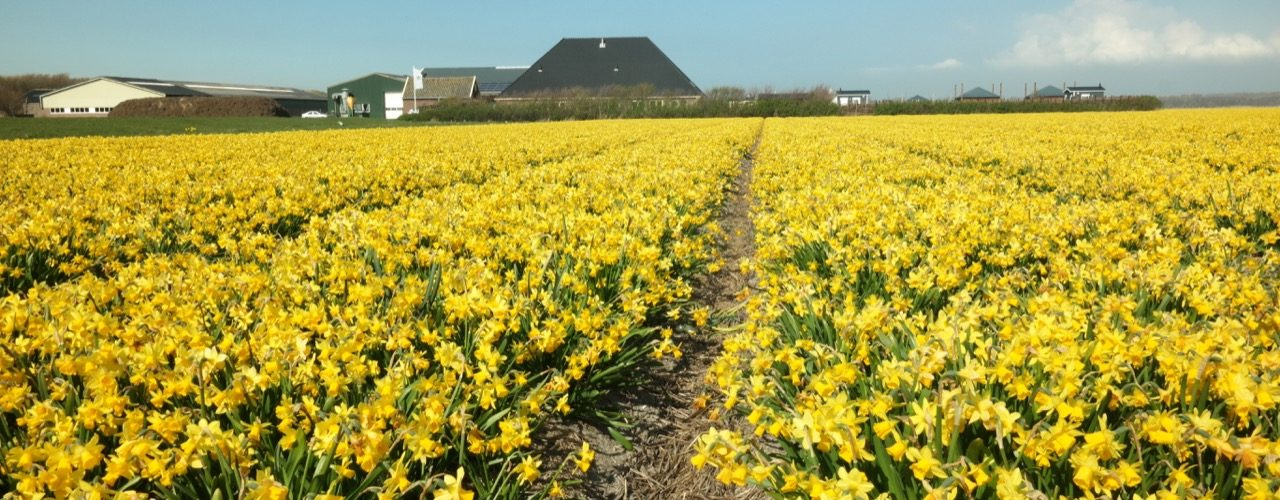 De bloembollenvelden in bloei rond de camping begin april