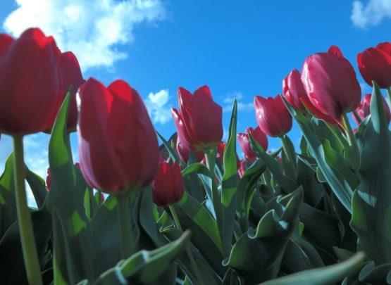 De tulpen rond de camping